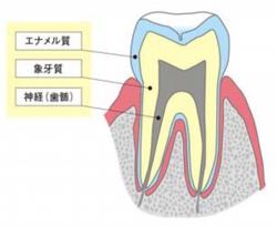 基礎知識「歯の構造」