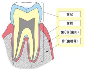 基礎知識「歯周組織の構造」